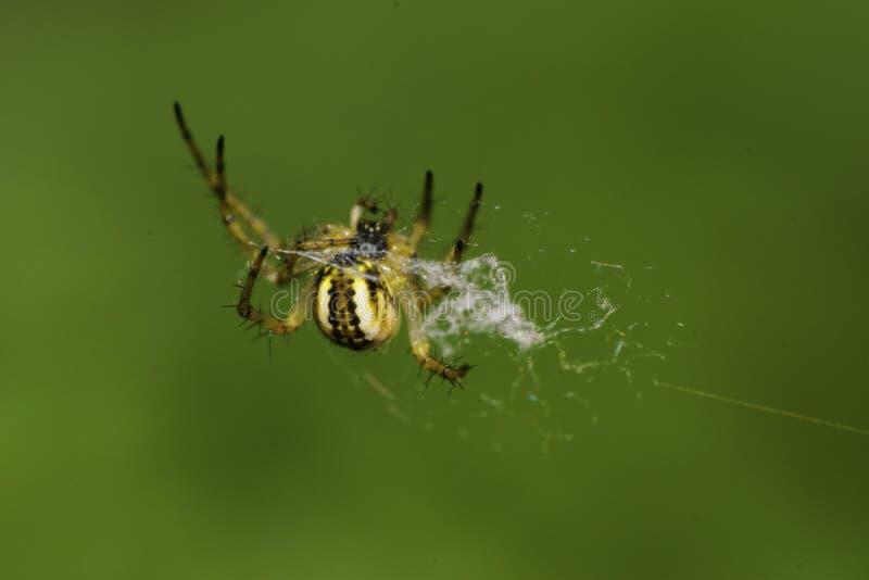 Macro of small spider Araneus stock images