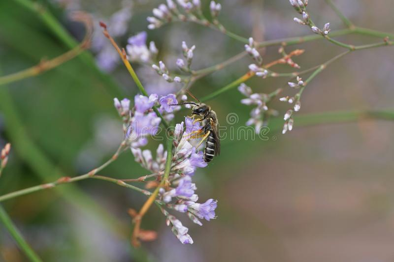 Macro of a small striped Caucasian bee of the genus Melitta on t royalty free stock photography