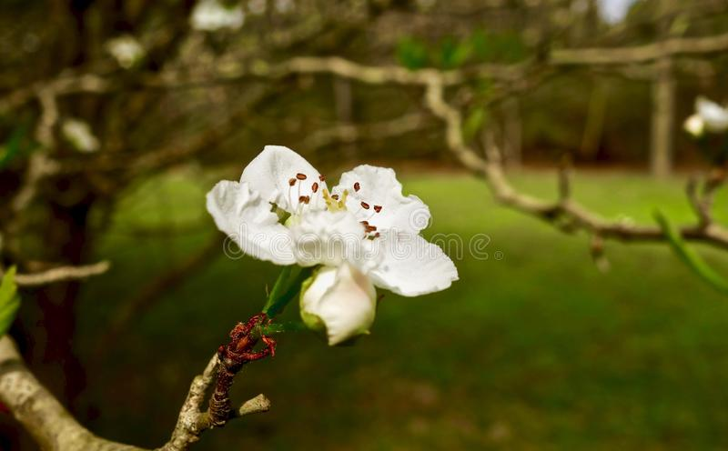 Macro of a small white flower growing on a tree branch stock image