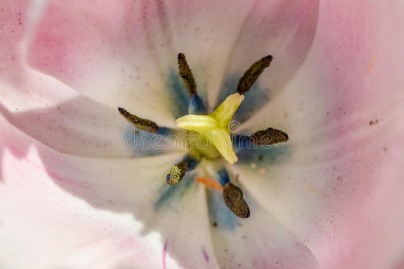 Macro of soft pink tulip stigma stock photos