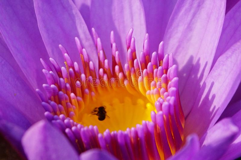 Macro image of soft purple color water lily flower. stock images