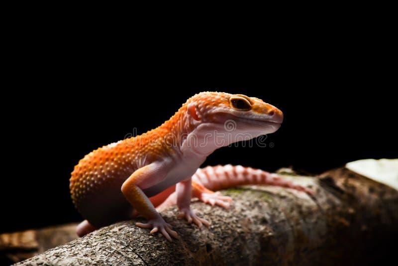 Macro sonriente Photo-2 de la salamandra del leopardo fotos de archivo libres de regalías