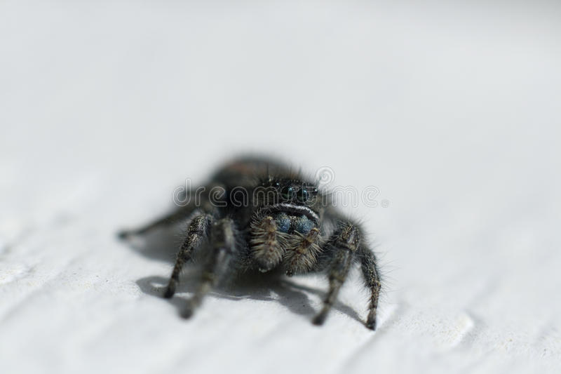 Macro Spider royalty free stock photography