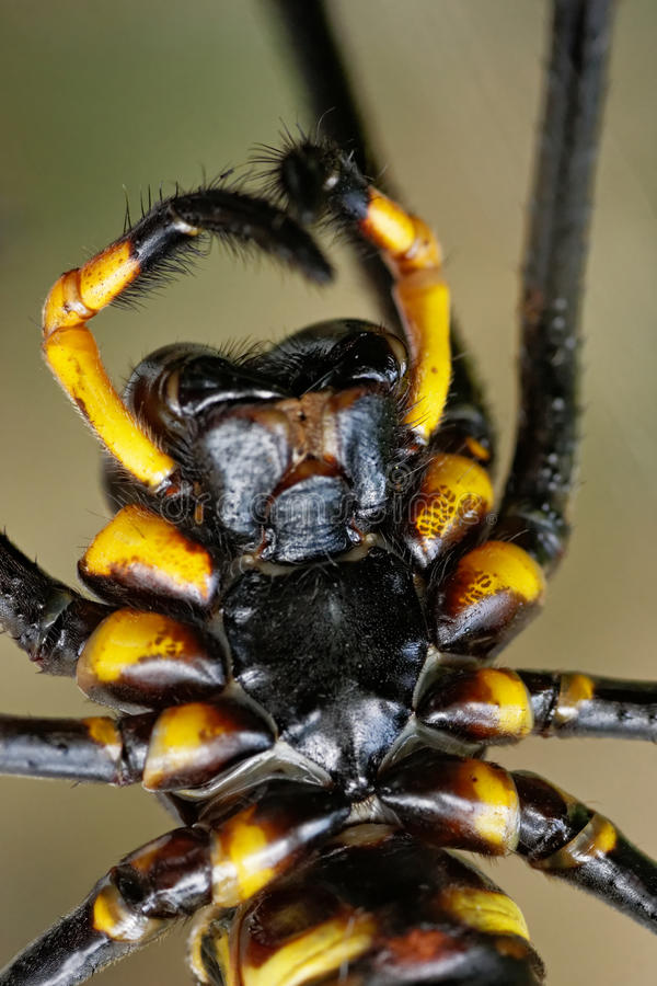 Macro of spider Nephila pilipes stock image