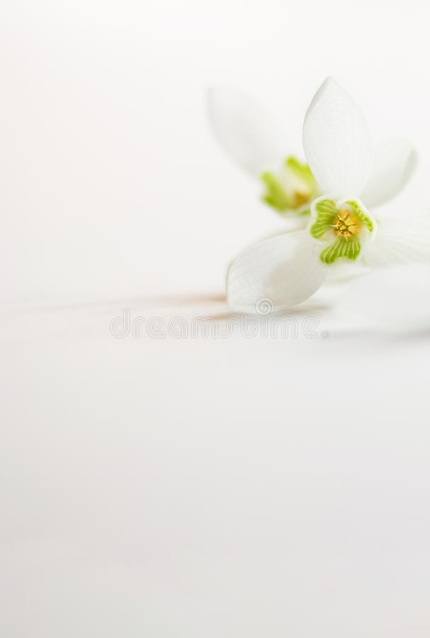 Macro Spring flower - snowdrops Gallanthus  isolated on white background royalty free stock images