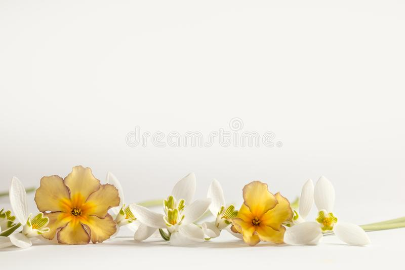 Macro Spring flower - snowdrops Gallanthus and primroses isolated on white background stock photography