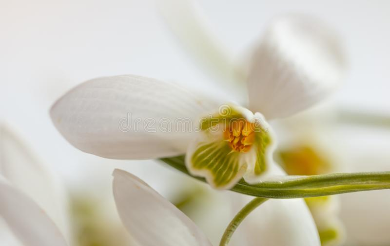 Macro Spring flower - snowdrops Gallanthus   on white background stock photography
