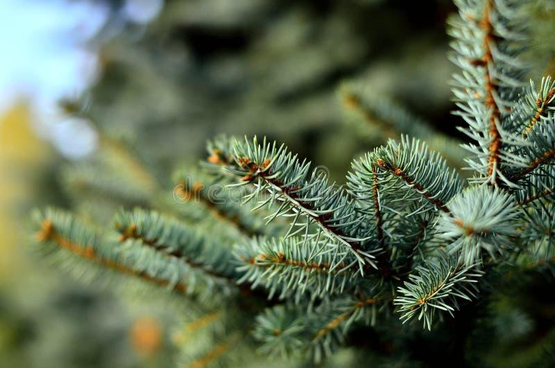 Macro spruce azul, fundo do spurce fotografia de stock royalty free