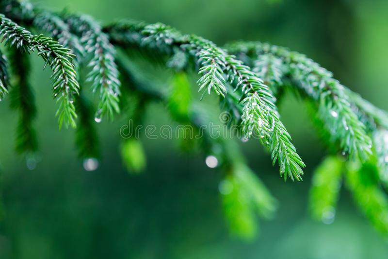 Macro of spruce branches with rain drops royalty free stock image