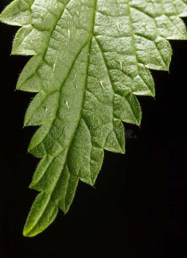 Nettle leaf with stinging hairs. Macro of stinging or common nettle Urtica dioica leaf, vertical, over black background, stinging hairs or defensive trichomes royalty free stock image