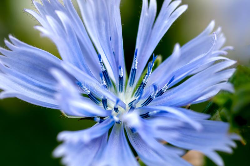 A macro of a Stoke`s aster. A macro of a Stoke`s aster Stokesia laevis, a native flower of Florida also known as a cornflower, with light blue-purple petals and stock images