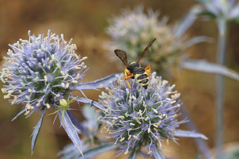 Macro striped Caucasian wasp Ammatomus rogenhoferi sitting on a royalty free stock photos