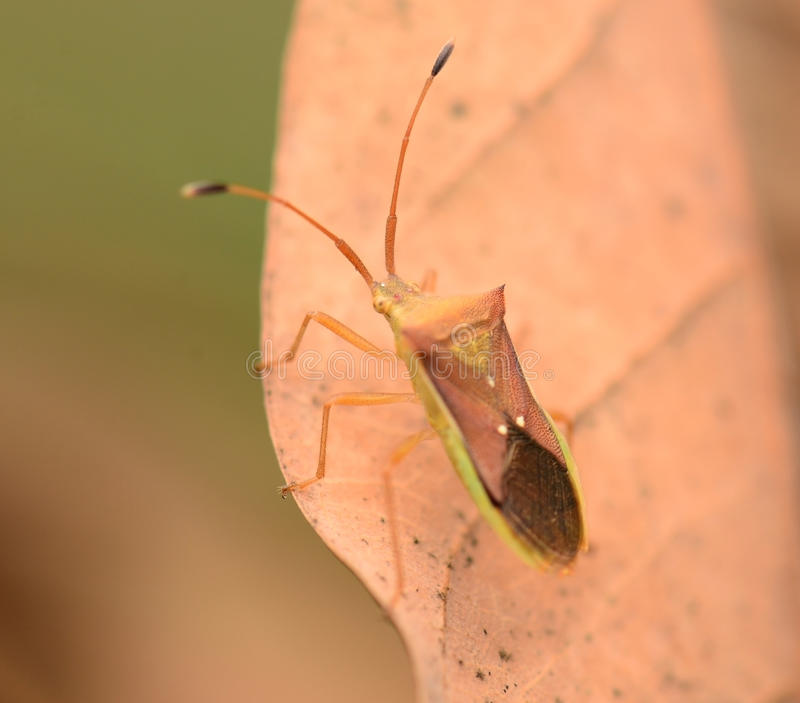 Macro Striped Shield Bug Or Stink Bug royalty free stock images