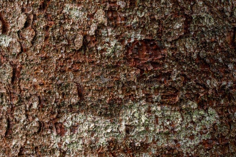 Macro struttura del fondo di struttura della corteccia del pino immagine stock libera da diritti
