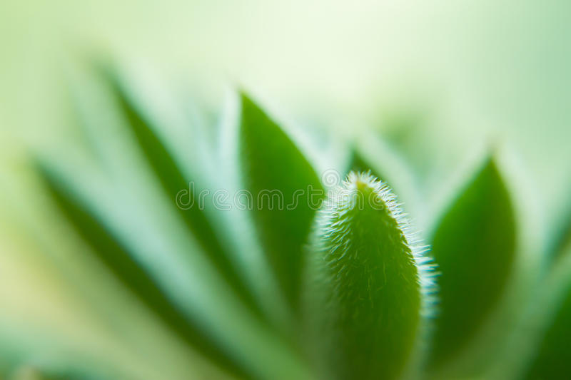 Macro of a Succulent plant. With blurred background royalty free stock image