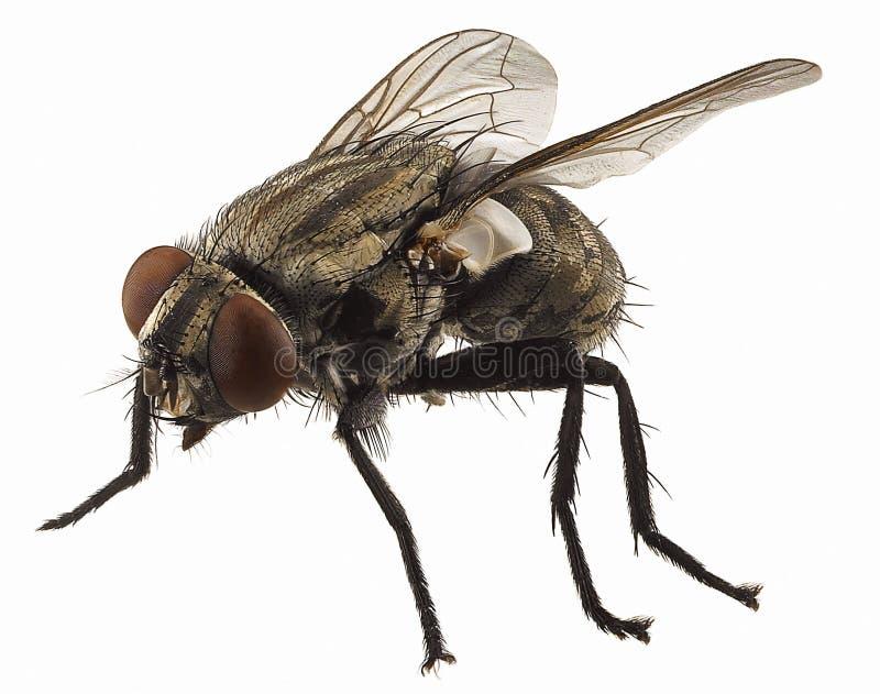 Macro sulla mosca fotografia stock
