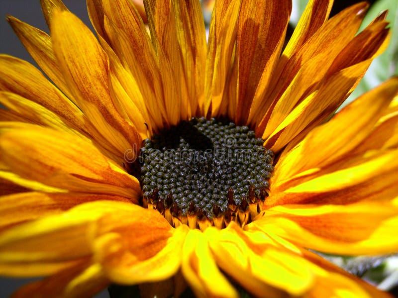Macro of sunflower royalty free stock image