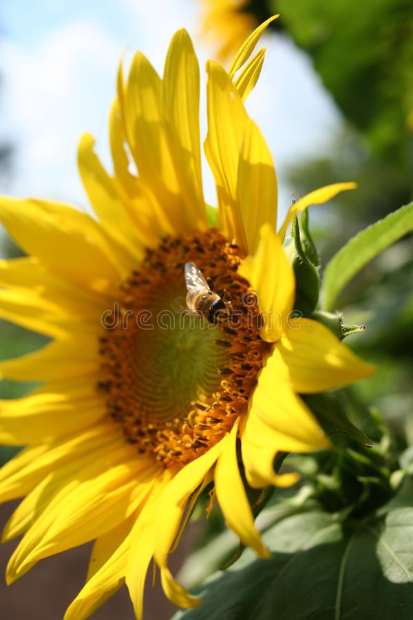 Macro Sunflower and Bee. Close up of bee and sunflower royalty free stock images