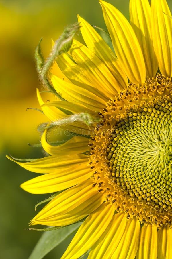 Free Macro Sunlit Sunflower Royalty Free Stock Photos - 15528638