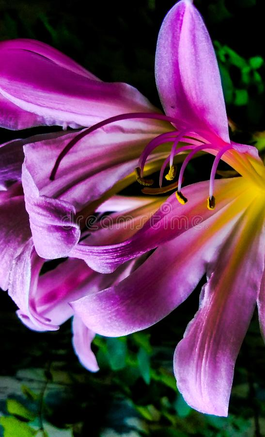 Macro of a Suprise Lilly. Which does come up in the fall although no one knows exactly when theirs will come up royalty free stock images