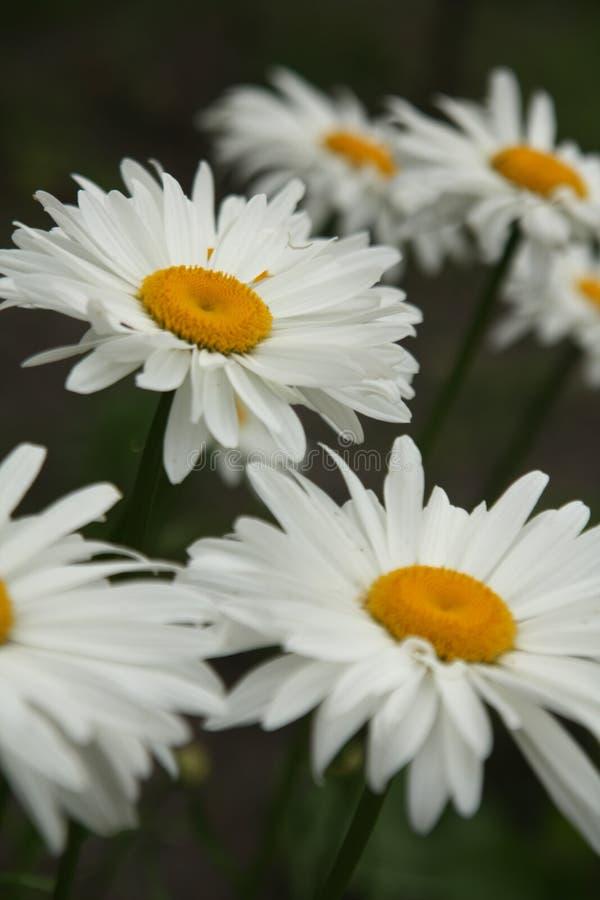 Macro sur la fleur blanche avec le fond de tache floue image libre de droits