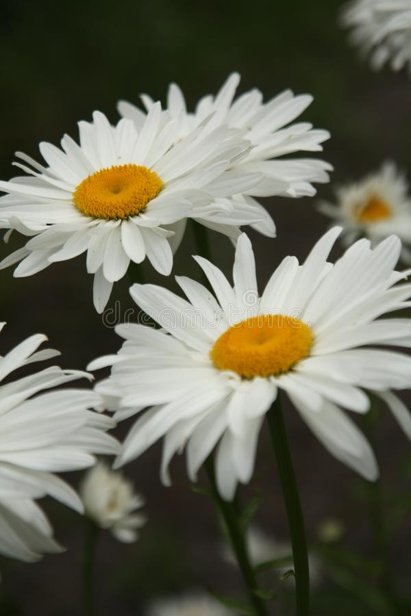 Macro sur la fleur blanche avec le fond de tache floue images stock