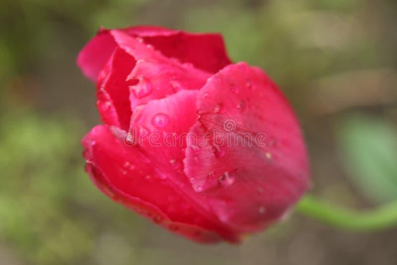 Macro sur la fleur rouge avec le fond de tache floue image libre de droits