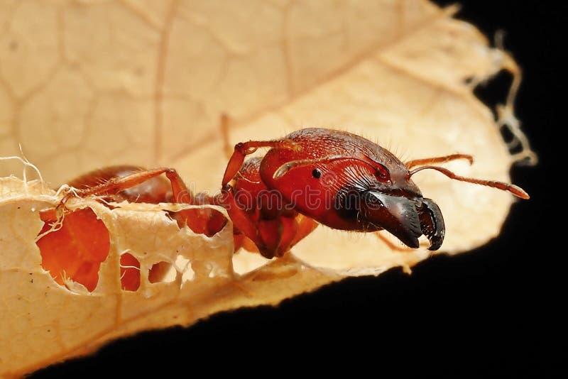 Macro tête de photographie de grande fourmi de mâchoire sur la feuille sèche brune images stock