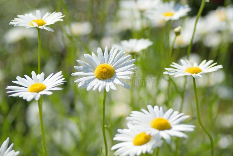 Macro texture of colored Daisy flowers. Macro texture of white colored Daisy flower in spring garden stock photos