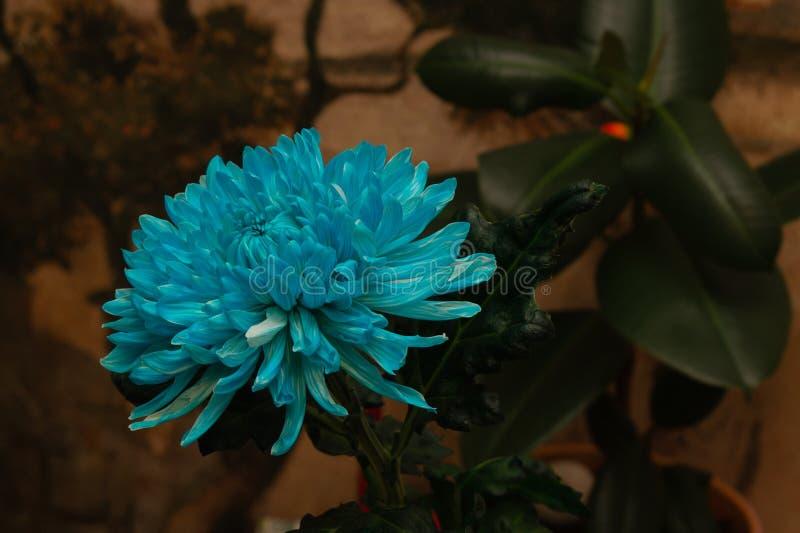 Macro texture de fleur bleue de chrysanthème image libre de droits