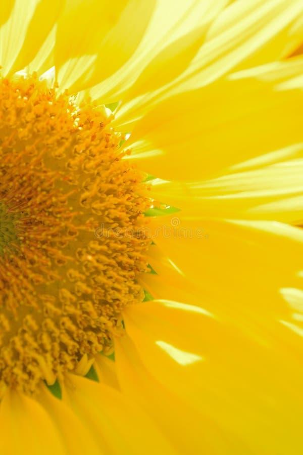 Macro texture des détails de tournesol en soleil images stock