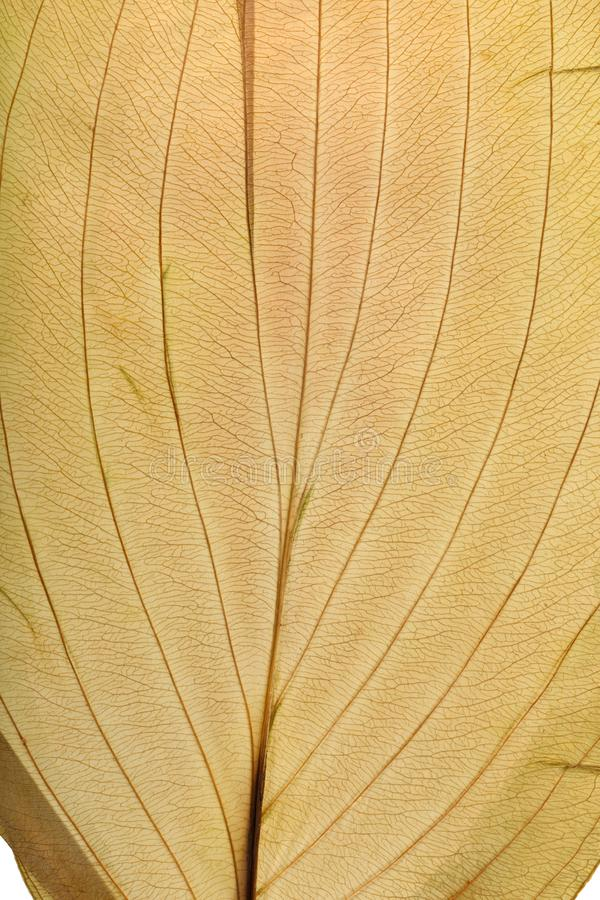 Macro texture of dry leaf plants for the background. Flat herbarium details.  stock photos