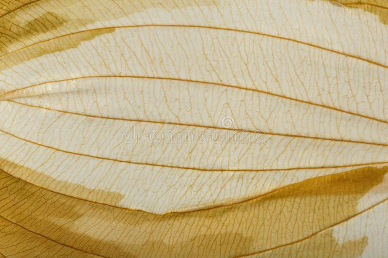 Macro texture of dry leaf plants for the background. Flat herbarium details.  royalty free stock image