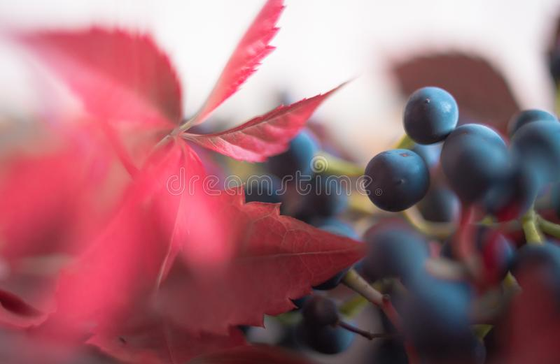 macro texture red leaf blue berries close-up stock photography