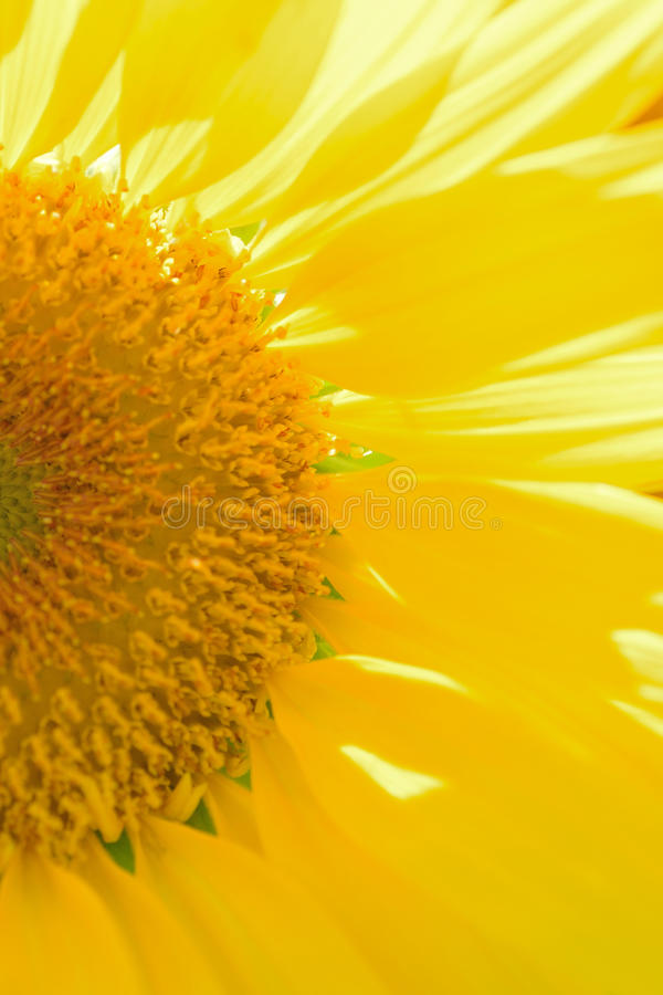 Macro texture of Sunflower details in sunshine. Macro texture of Sunflower details in vertical frame stock images