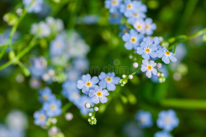 Macro of tiny blue flowers forget-me-not and colorful grass background in nature. Close up. Macro of tiny blue flowers forget-me-not and colorful grass stock photo
