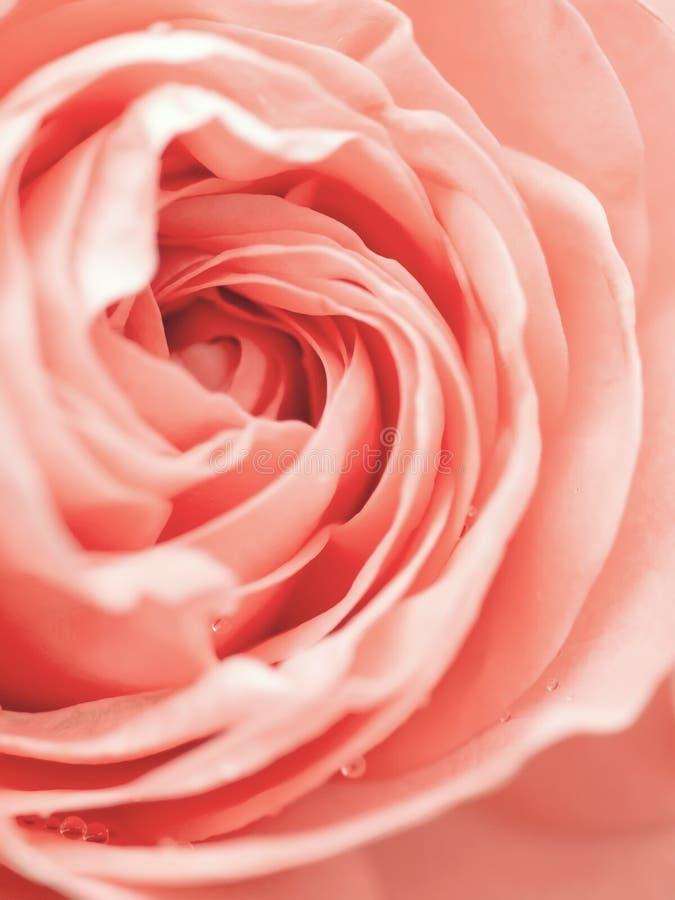 Macro tir abstrait de belle fleur de rose de rose Fond floral avec le foyer s?lectif mou, profondeur de champ photo libre de droits