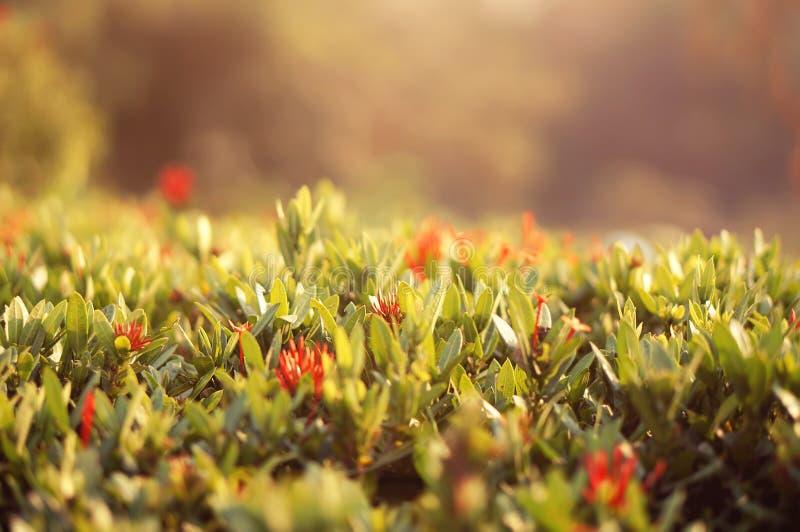macro tir d'herbe d'arbuste photographie stock