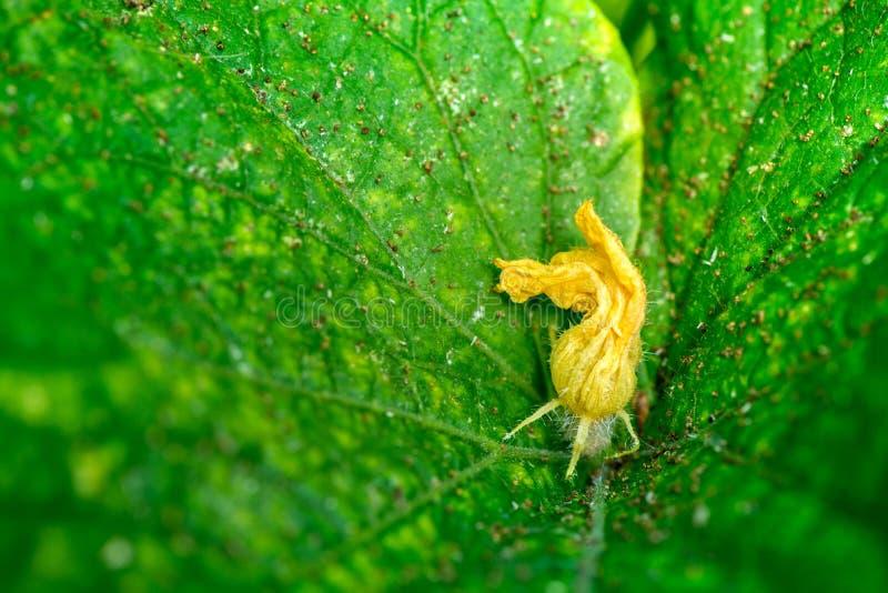 Macro tir d'un bourgeon de concombre photographie stock
