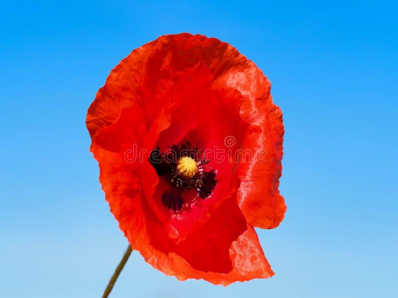 Macro tir d'une fleur de pavot photos stock