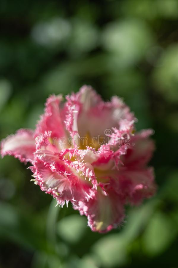 Macro tir d'une fleur de tulipe d'une couleur peu commune sur un fond vert brouill? images libres de droits
