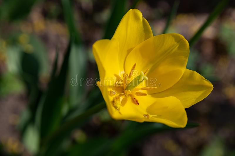 Macro tir d'une fleur de tulipe d'une couleur peu commune sur un fond vert brouill? photographie stock libre de droits