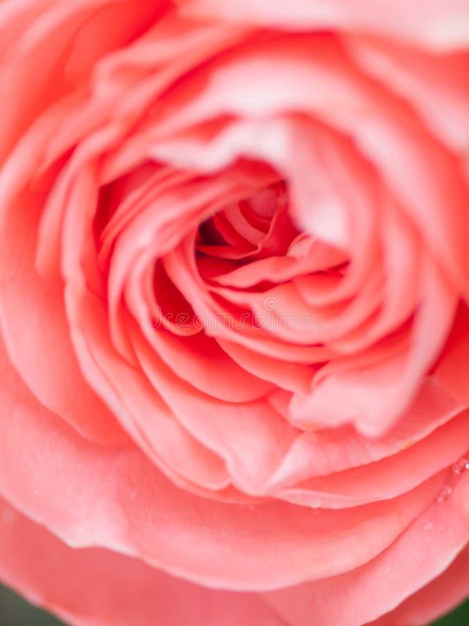 Macro tir de belle fleur rose rose Fond floral avec le foyer s?lectif mou, profondeur de champ images libres de droits