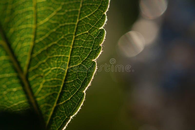 Macro tir de feuille Photographie de fond de nature images libres de droits