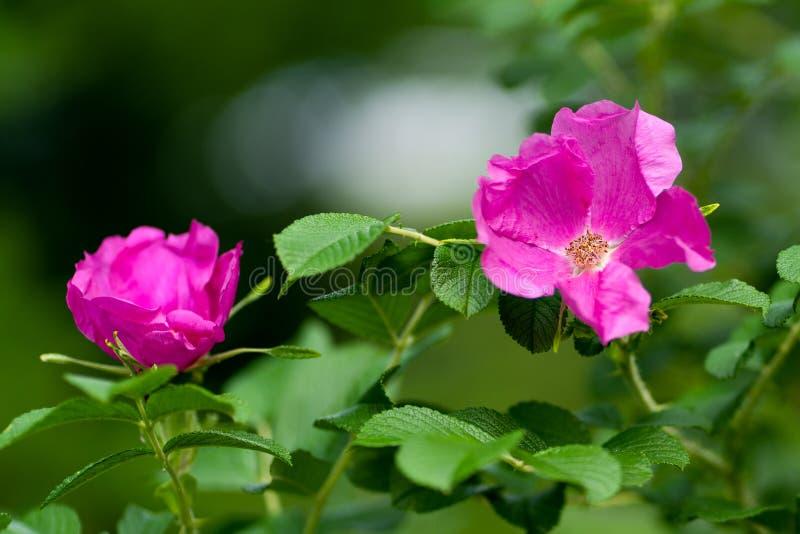 Macro tir de fleur pourpre au foyer mou images libres de droits
