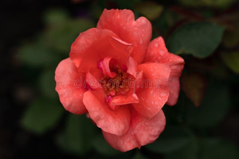 Macro tir de fleur rouge avec des baisses de rosée photographie stock libre de droits