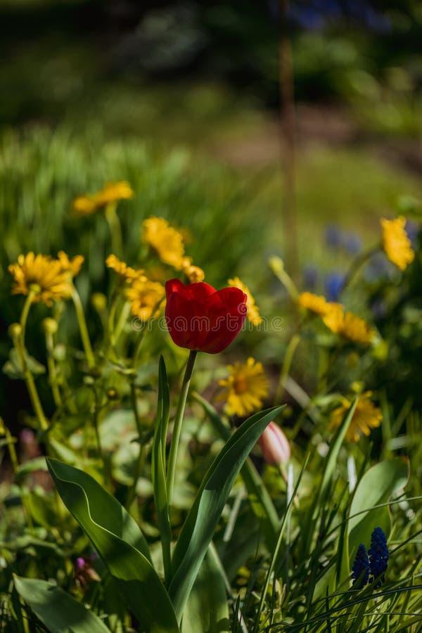 Macro tir de fleur rouge de tulipe dans un jardin images libres de droits