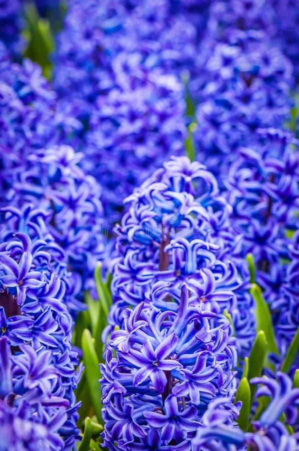 Macro tir de jacinthe bleue photos libres de droits