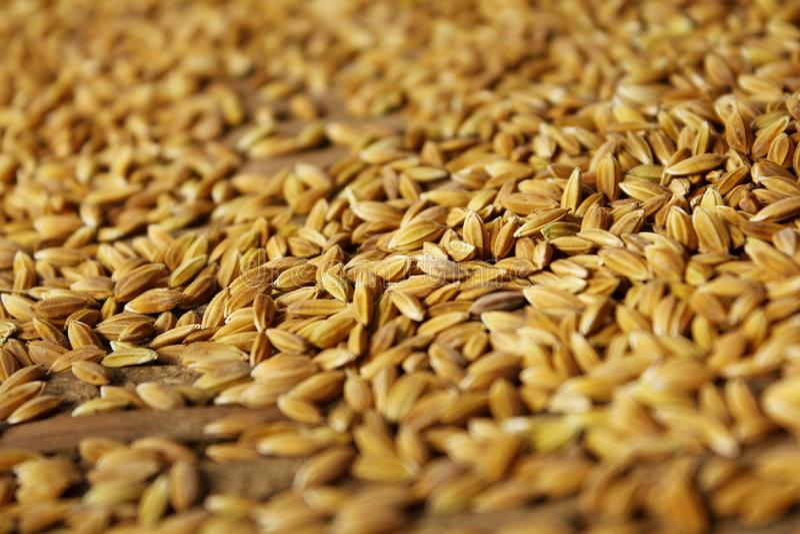 Macro tir de riz image stock