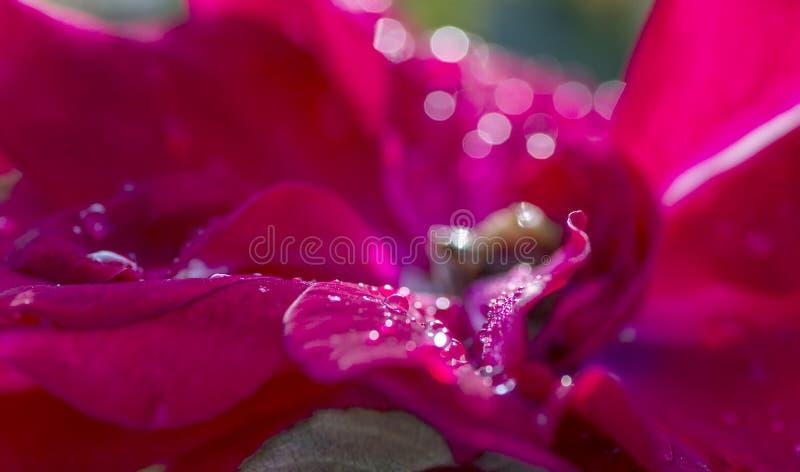 Macro tir des baisses de rosée sur les pétales de rose rouges photos stock